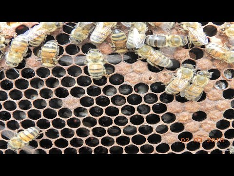 Disease on honey bees | European foulbrood disease - EFB | Chalkbrood disease - Ascosphaerosis