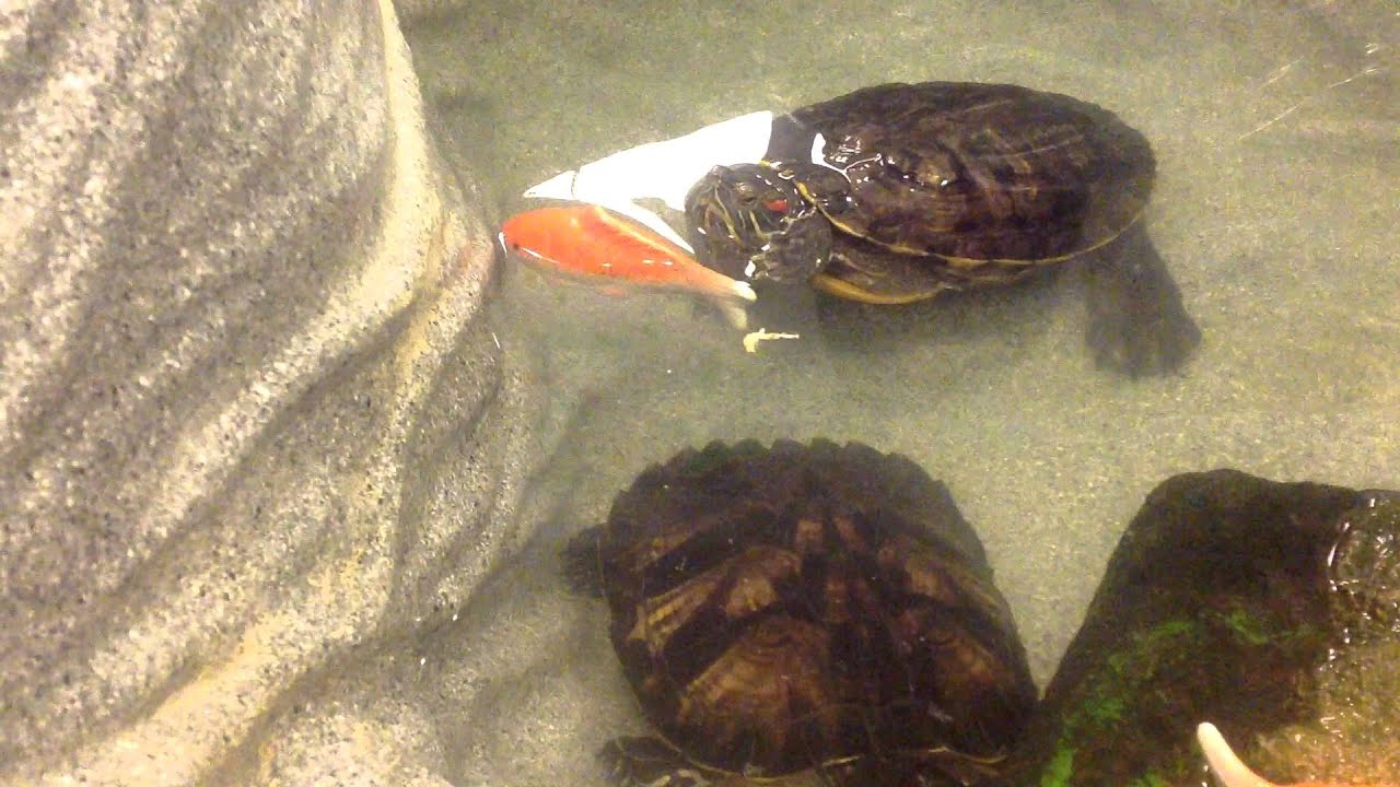 Koi fish gets in the way of a turtle eating let me eat for What to feed koi fish