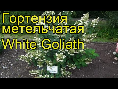 Гортензия метельчатая Уайт Голиаф. Краткий обзор, описание hydrangea paniculata White Goliath