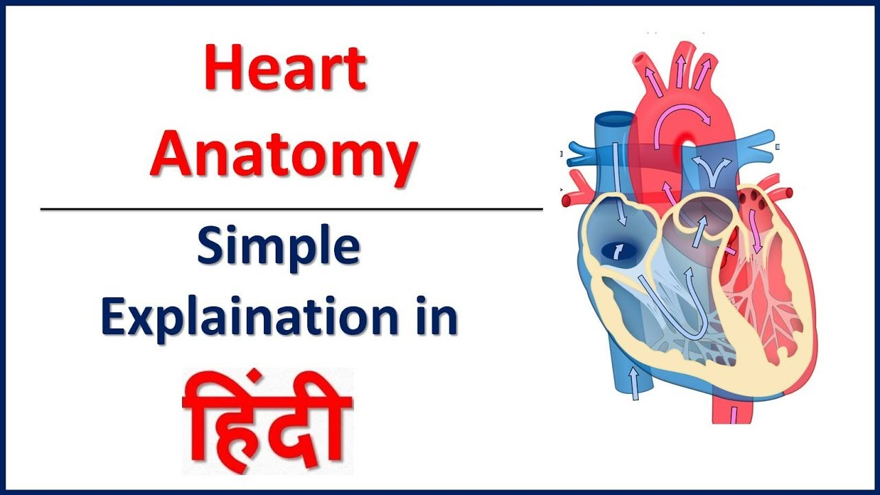 Anatomy (Structure) of Heart in Hindi | Bhushan Science - YouTube