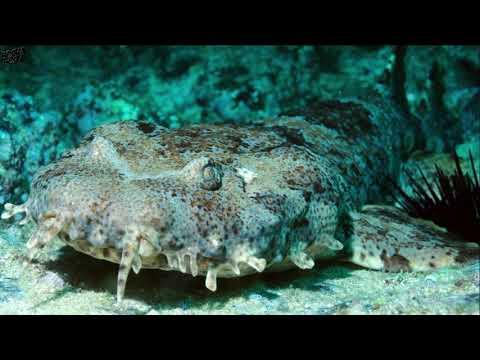 Видео: Австралийская ковровая акула или ВОББЕГОНГ!!! Такой акулы вы не видели!