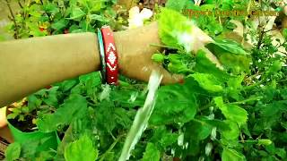 Aphids को हटाऐ आसानी से, सुरक्षित तरीका remove Aphids without any homemade solutions or pesticides