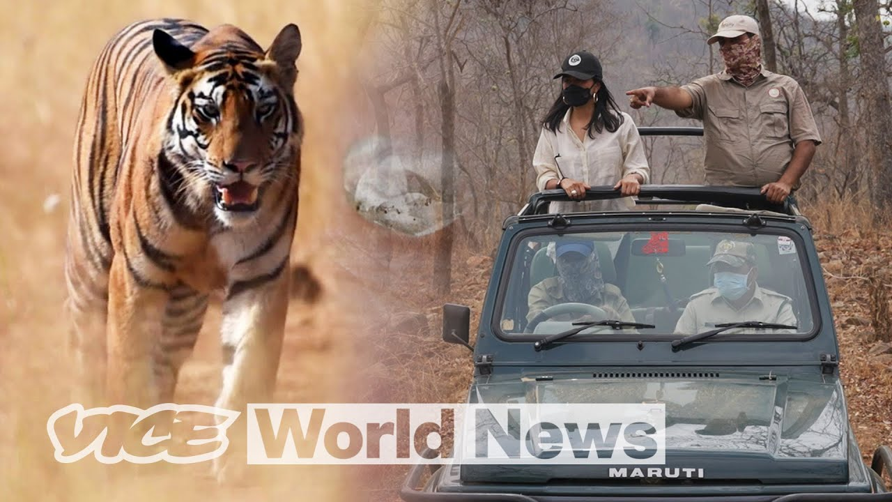 Endangered for Diamonds: The Tigers of Panna