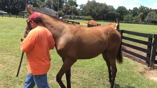 Taxi Dancer Temple City yearling head on