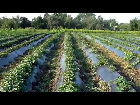 "Копия видео ""Выращивание батата от А до Я. Весь цикл от посадки на рассаду до сбора урожая"""