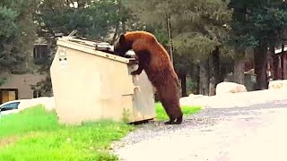 This Momma Bear Couldn't Reach Her Cubs In A Dumpster, But Help Arrived From An Unlikely Friend Video