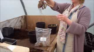 Download Video How to plant dahlia tubers MP3 3GP MP4