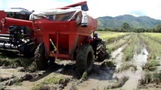 Harvesting rice in Panama