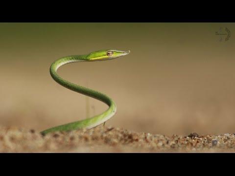 Green Vine Snake Amazing Video Canon 700D - [ SAP Wildlife ]