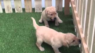 Labrador Retriever Puppies In India At Tegha Kennel