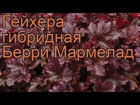 Гейхера гибридная Берри Мармелад 🌿 обзор: как сажать, саженцы гейхеры Берри Мармелад