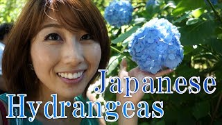 Took a day trip to see the beautiful Japanese hydrangeas (ajisai) a...