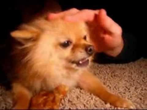 Evil Pomeranian Dont Mess With My Pigs Ear Youtube