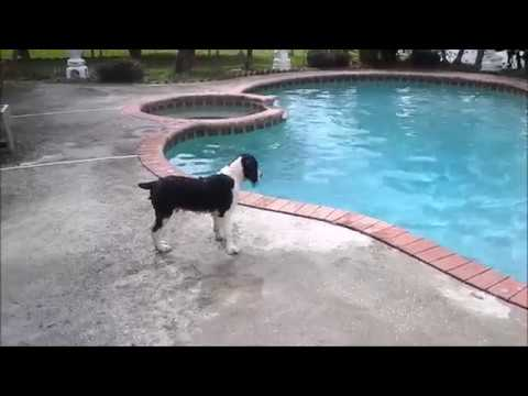 Springer Spaniel Pup's First Swim