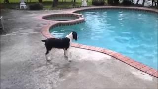 Springer Spaniel Pup's First Swim
