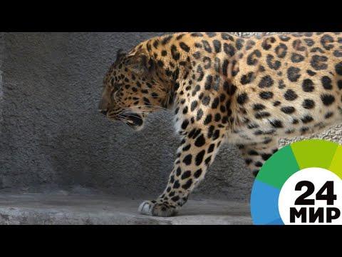 Национальный символ: леопарды вернулись в Армению спустя 40 лет - МИР 24