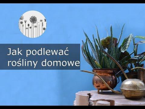 Jak prawidłowo podlewać rośliny domowe? Podlewanie kwiatów doniczkowych