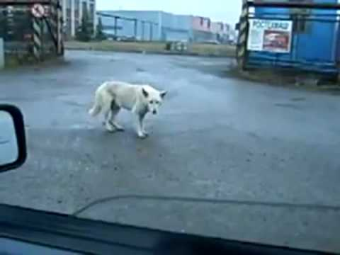 Dog Dancing To Music Coming From A Car!