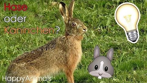 Hase oder Kaninchen? - der Unterschied