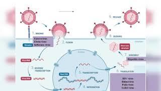 Efficacité de l'ail et de l'oignon contre les infections virales.