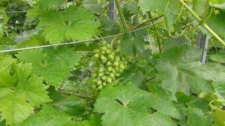 Выращивание винограда в фермерском хозяйстве