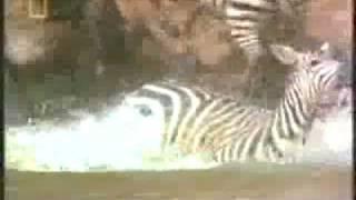 Zebra vs Crocodile. Zebra Destroys the Crocodile.