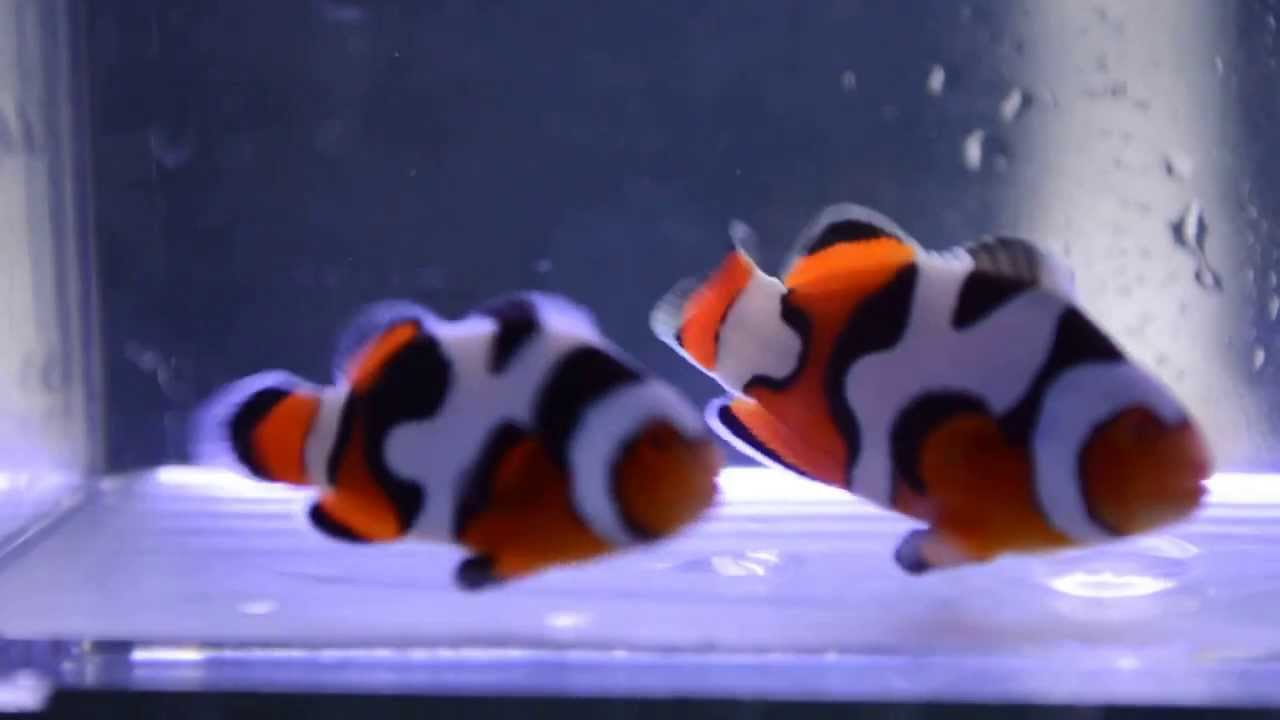 Ultra premium onyx picasso clown fish pair squiggles for Buy clown fish