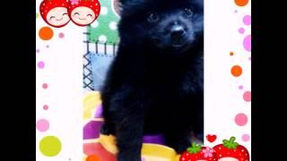 Sold Bear Type Male Pomeranian Puppy