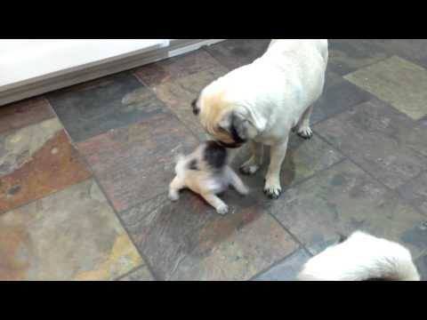 3 weeks pug puppy playing with mom and dad HD