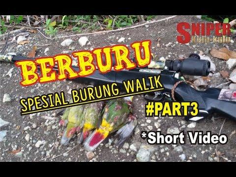 BERBURU Spesial Burung Walik !!  *Short Video #Part4 #SNIPERKULU2