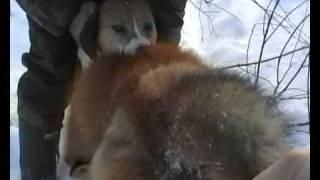 Охота с Русской пегой гончей на лису и зайца