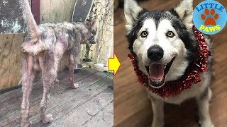 Rescue a Poor Dog Who Was Chained Up His Whole Life Looks Completely Different Now