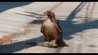 A squirrel and a bird trying to save their buddy from a hawk!