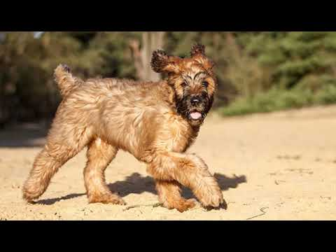 Briard - large dog breed