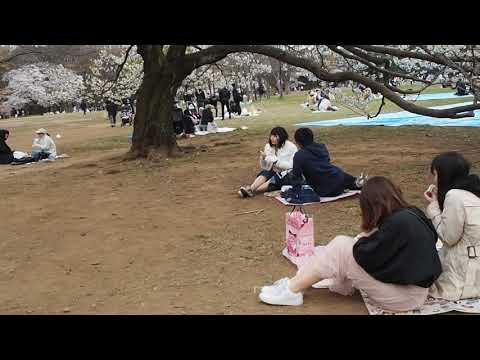 花冷えの代々木公園 桜も寒々 それでもお花見 2019.3.29  Sakura