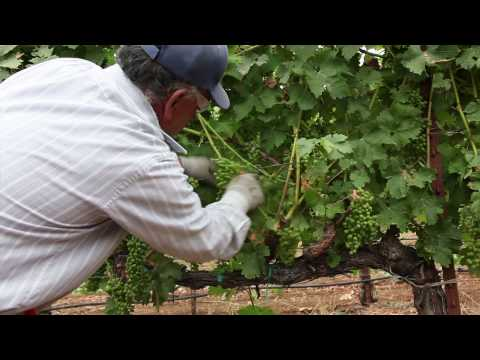 Leaf pulling: preparing our grapevines for ripening (The Journey Blog 8.10.10)