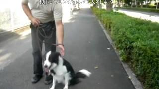 ボーダーコリー2歳の女の子、ハニーちゃんのしつけトレーニング4日目に...