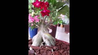 Rosa do Deserto - RESULTADO DA ENXERTIA