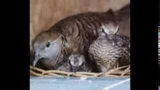 Tips Cara Mudah Beternak Burung Perkutut
