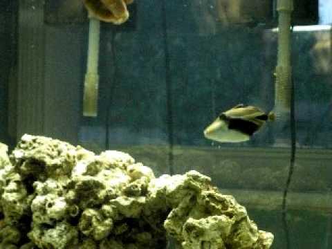 Hand Feeding Rectangular Triggerfish