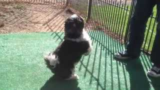 Cute Shih-tzu Dog Jumps Higher Than Michael Jordan - Http://getdogtrainingtips.com