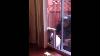 Westie Dog Using Plexidor