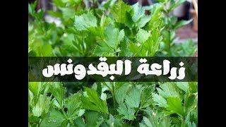 طريقة زراعة البقدونس ( المقدونس ) فى المنزل (1)  How to grow parsley indoors