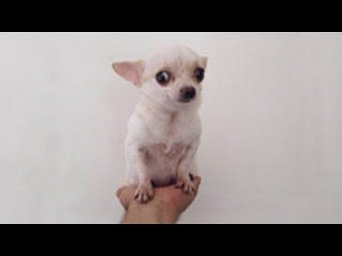 Teacup Chihuahua Full Grown In The Hand De Bolsillo O En La Palma Mano You