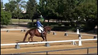 Warcloud Hanoverian Stallion- Dressage Show with Amature Owner