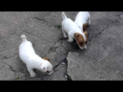 Jack Russell Terrier puppies running