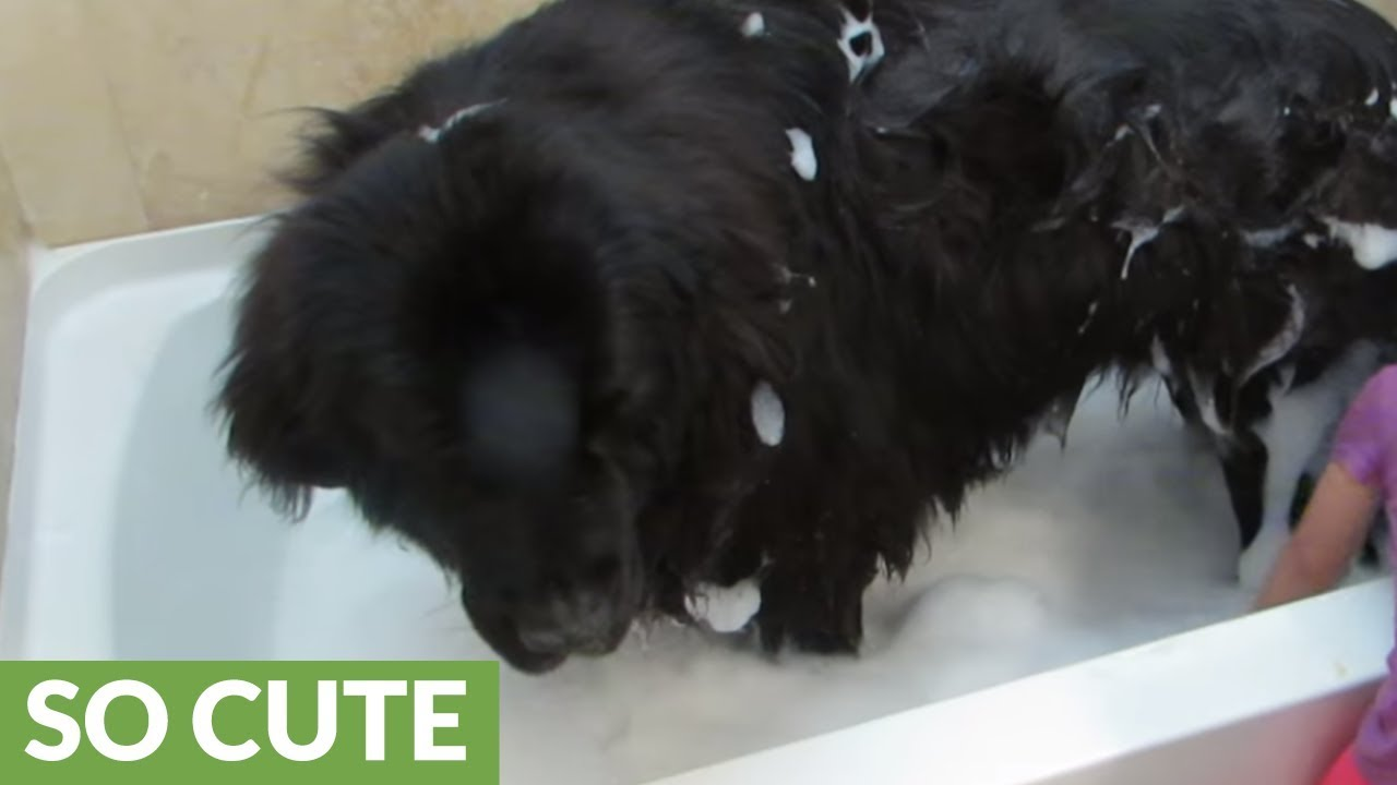 Toddler Gives Giant Dog A Bath Youtube