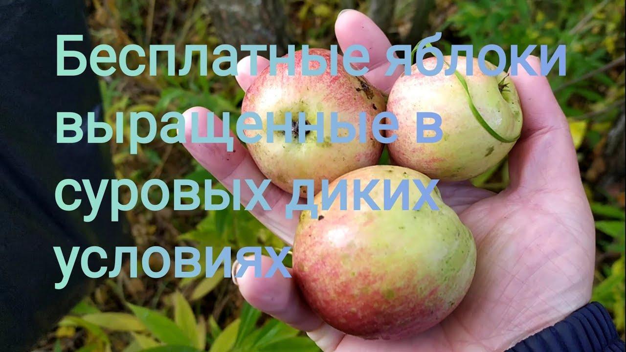 Урожай яблок с дикой яблони, которая выросла на камнях заброшенной железной дороге