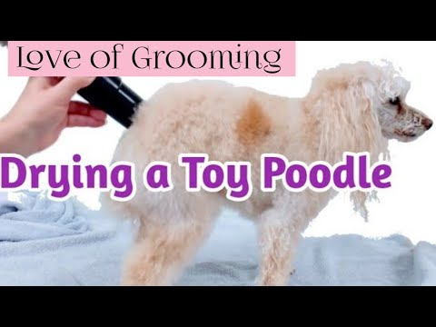 How to dry a Toy Poodle with a Velocity Dryer | Poodle Grooming