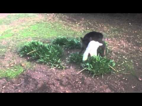 Calf playing with lambs #2